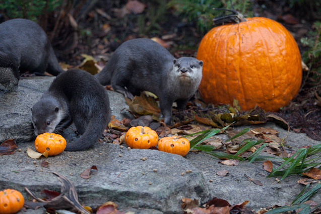 Pumpkin Bash Woodland Park Zoo