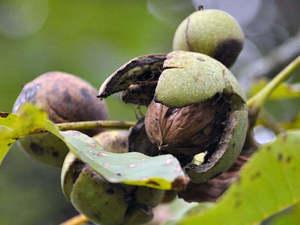 Ростуть горіхи