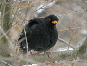 Голландський птах