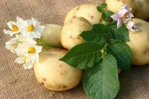 Картопля - другий український хліб